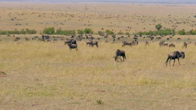view of a huge herd of wildebeest that graze in the savannah reserve maasai mara - równina filmów i materiałów b-roll