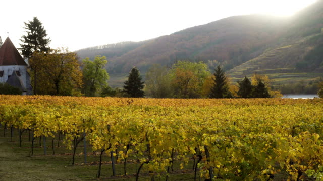 view of autumn vineyards on a hills of famous austrian valley wachau at the sunset time - styria filmów i materiałów b-roll