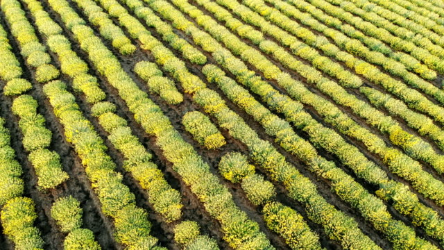AERIAL view of Beautiful Blooming Curry plant field in rural countryside. Flying above on a field with herb Helichrysum italicum at sunrise. 天の川 stock videos & royalty-free footage