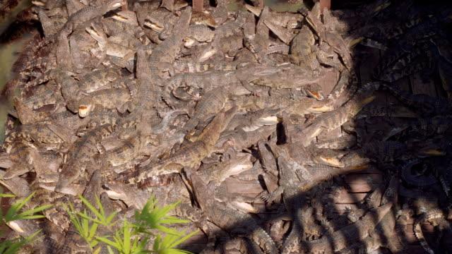 View of crocodiles in crocodile farm on lake Tonle Sap video