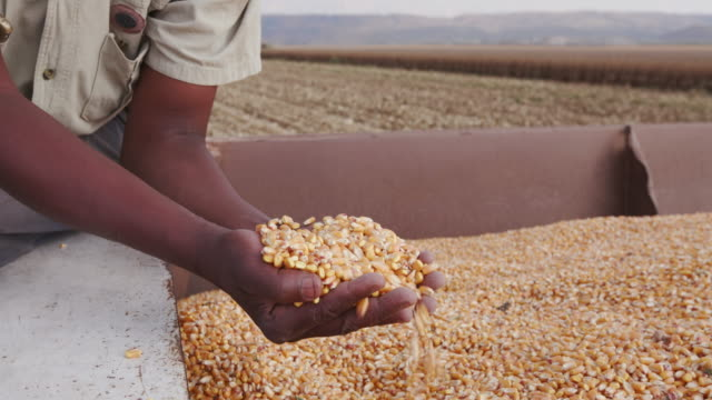 4K view of farmer scooping up harvested corn video