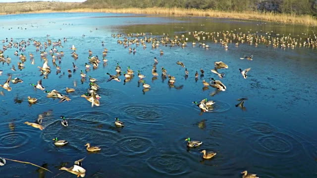 AERIAL view of flying ducks in the lake, SLOW Motion.