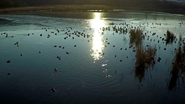 вид с высоты на полет утки на озеро, замедленная съемка. - утка водоплавающая птица стоковые видео и кадры b-roll