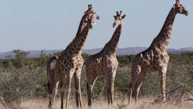 4K view of four male giraffe, Etosha National Park, Namibia 4K view of four male giraffe, Etosha National Park, Namibia namibia stock videos & royalty-free footage