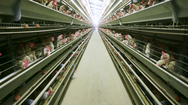 4K view of large scale battery chicken egg laying production farm 4K view of large scale battery chicken egg laying production farm antibiotic stock videos & royalty-free footage