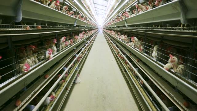 vídeos de stock, filmes e b-roll de visão 4k de bateria de grande escala ovo de galinha que coloca produção farm - ave doméstica