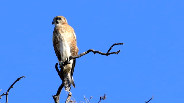 View of perched Nankeen Kestrel, Falco cenchroides video