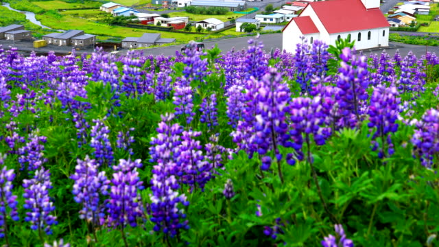 View of Reyniskirkja Church with the field of Lupine flowers at Vik in Iceland