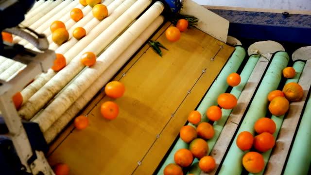View of ripe mandarin oranges on conveyor belt