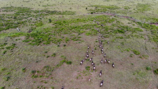 AERIAL view of running Wildebeest Herd Migration through the savannas of Tanzania, Africa. AERIAL view of running Wildebeest Herd Migration through the savannas of Tanzania, Africa. prairie stock videos & royalty-free footage
