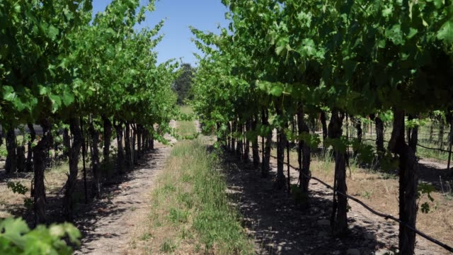 View of shady path way through vineyard