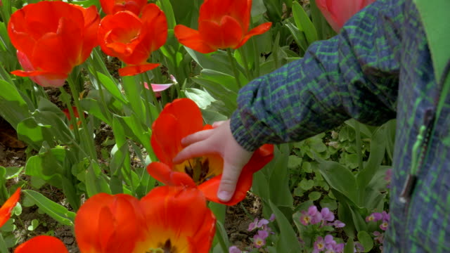View of small boy touching red tulips in the field video