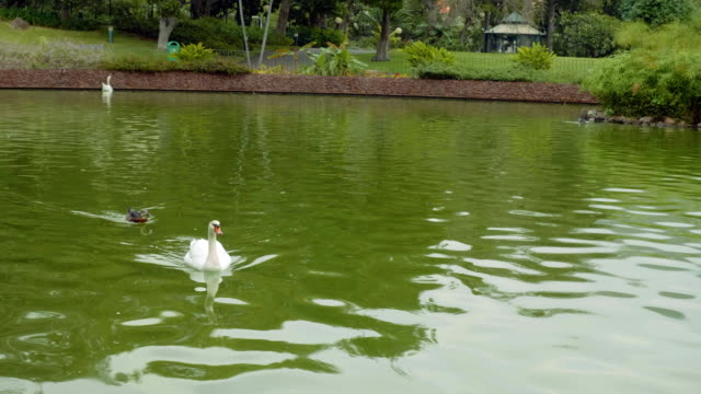 View of swans and ducks swiming in pond of Funshal park video