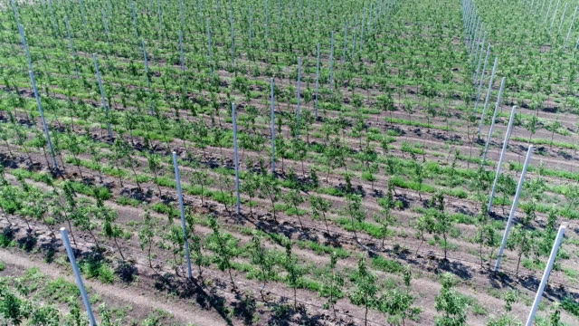 A view of the seedlings of trees from the air, flying over tree seedlings, a garden center, a young apple garden on the field, Rows of tree saplings in the Young apple garden, FullHD, aerial A view of the seedlings of trees from the air, a young apple garden on the field, Rows of tree saplings in the Young apple garden, FullHD, aerial plant nursery stock videos & royalty-free footage