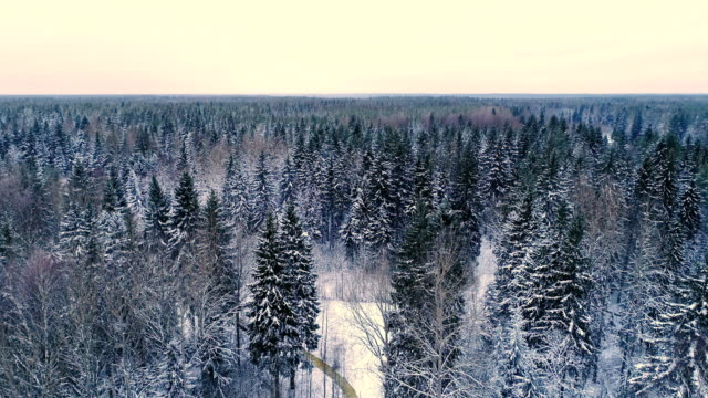 View of the spruce trees in the forest on a winter season video