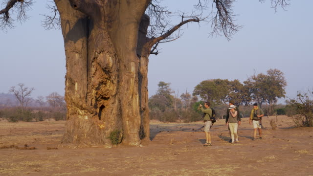 4k view of tourists on a guided bush walk , looking at a squirrel on a large baobab tree, gonarezhou national park , zimbabwe - дикая местность стоковые видео и кадры b-roll