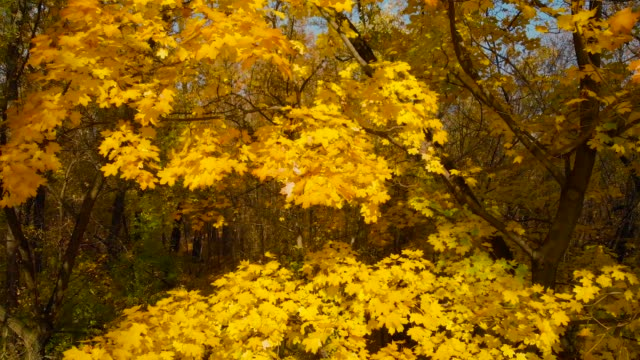 View of tree branches with autumn leaves in park video