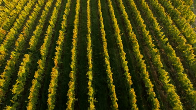 AERIAL View Of Vineyards In The Mist video