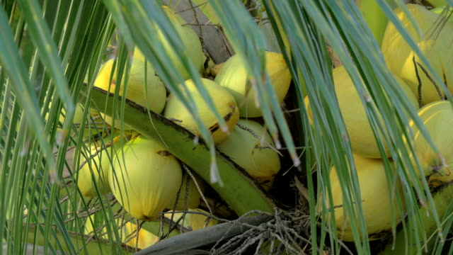 View of yellow green coconut in the bunch on coconut palm tree with huge leaves video