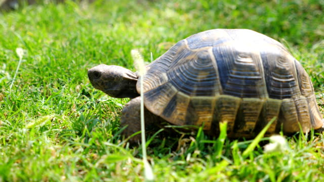 View on old turtle slowly crawling on green grass. Tortoise exploring nature environment. Wild animal in it habitat. Slow motion Close up View on old turtle slowly crawling on green grass. Tortoise exploring nature environment. Wild animal in it habitat. Slow motion Close up tortoise stock videos & royalty-free footage