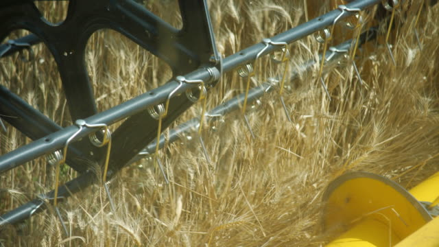 View on the Field From the Combine Cabin.A Close up of the Reciprocating Knife Cutter Bar. View on Harvest Through the Eyes of Combine Driver. Harvesting Wheat.