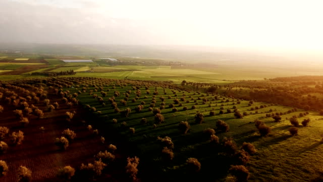 View over an olive tree field in Morocco. Panoramic view over an agricultural field of olive under the sunset, with only fields in the horizon. Wonderful view over an olive agricultural field under the orange sunset. Only olive trees in the field in Morocco. There is fields in the horizon. olives stock videos & royalty-free footage