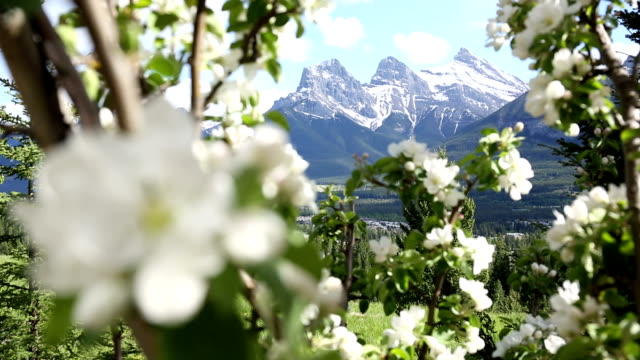 View through apple blossoms to snowy mountains