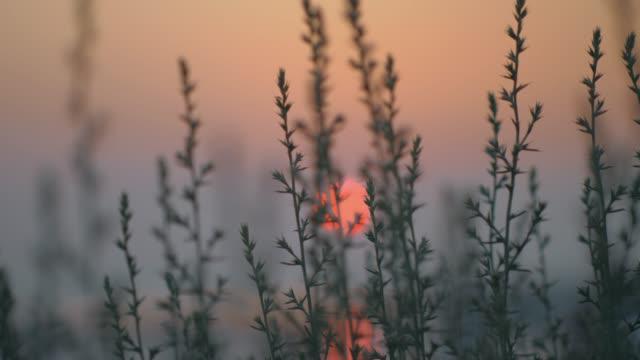 vidéos et rushes de vue au soleil rouge de soirée par l'herbe - plante aromatique