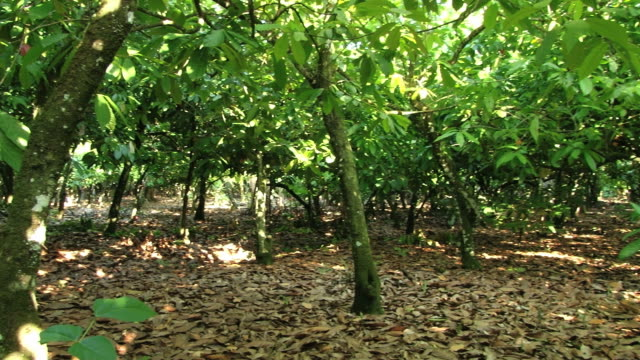 View to the cocoa trees at the plantation. video