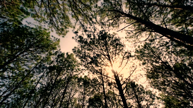 view up or bottom view of pine trees in a forest in the sunshine - вечнозелёное дерево стоковые видео и кадры b-roll