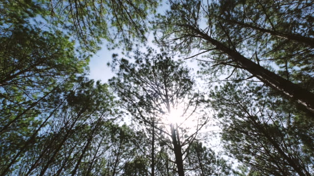 View up or bottom view of pine trees in a forest in the sunshine