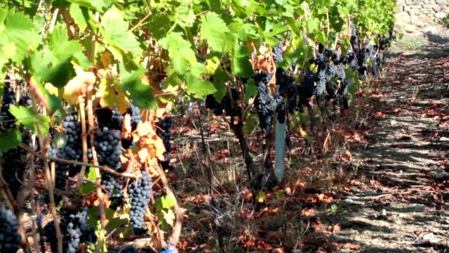 DLLY HD: Vigneto con uva rossa. video