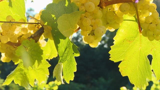 HD DOLLY: Vine Full Of White Grapes video