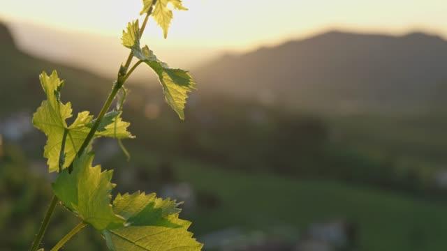 foglia di vite, vigneto, close up, natura, primavera, raggio di sole - vite flora video stock e b–roll