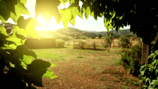 Vine leaves, wind and hot summer sunset in Tuscany video