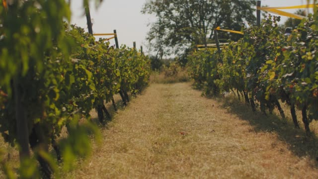 Vineyard and grapevines at sunny day