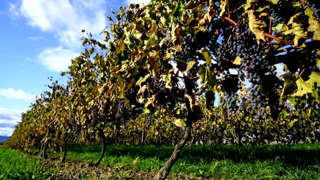 Vineyard at harvest time - video