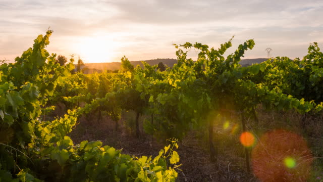 Vineyard at sunset video