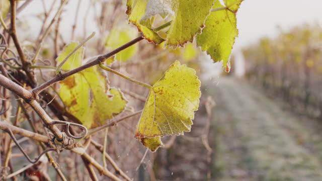 En vingård täckt av frost på en solig höst dag i Sverige video