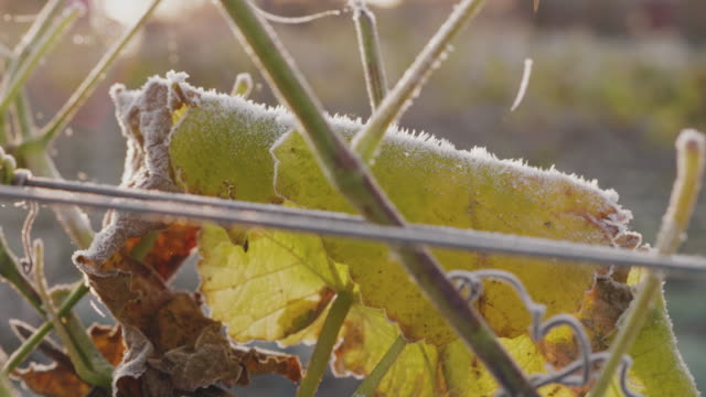 vídeos de stock e filmes b-roll de a vineyard covered in frost on a sunny autumn day in sweden - geada