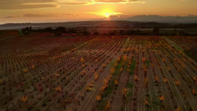 Vineyard files at sunset