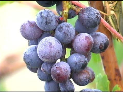 vineyard trauben - kürzer als 10 sekunden stock-videos und b-roll-filmmaterial