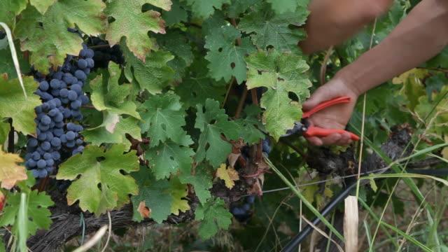 Vineyard harvesters video