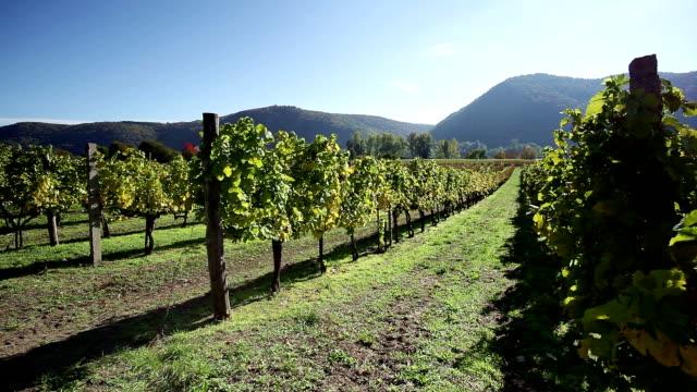 Vineyard in Danube Valley; Austria video