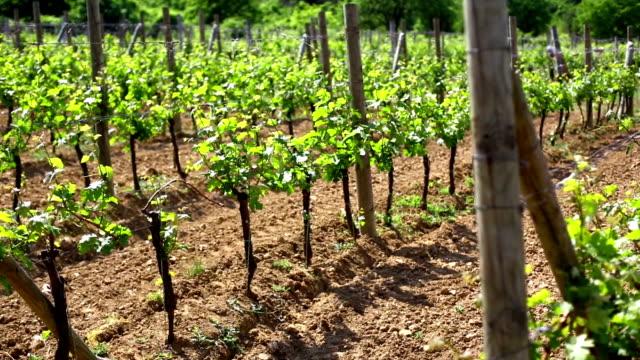 vineyard in early summer. - vit rieslingdruva bildbanksvideor och videomaterial från bakom kulisserna