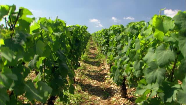 vineyard in france rows of grapes on vines - fransk kultur bildbanksvideor och videomaterial från bakom kulisserna