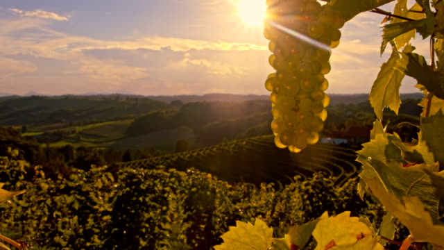 MS DS Vineyard In The Sunset video