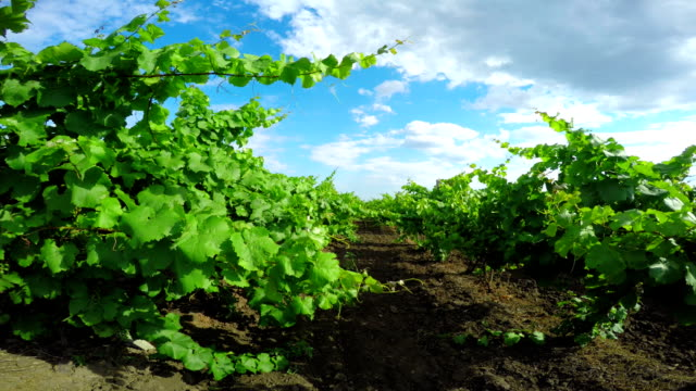Vineyard on a Sunny Day video
