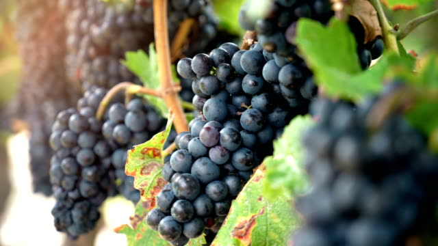 vineyard red wine grapes on the vine at winery. - grape stock videos & royalty-free footage