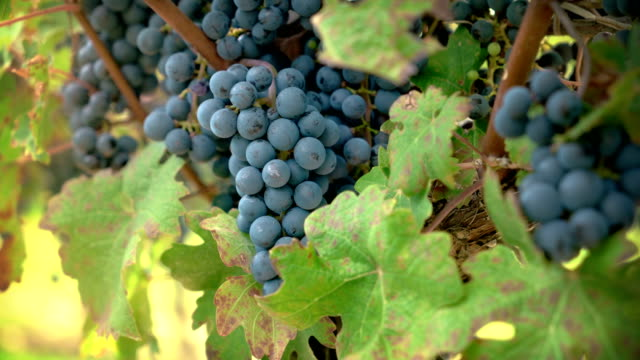 Vineyard Red Wine Grapes on the Vine of Winery A vineyard with red wine grapes on the vine ripening for fall harvest at a winery. red wine stock videos & royalty-free footage